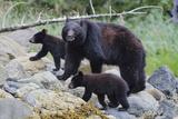 Vancouver Island Black Bear (Ursus Americanus Vancouveri) Mother With Cubs On A Beach Lámina fotográfica por Bertie Gregory