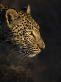 Leopard (Panthera Pardus) Female Head Profile In Early Morning Sunlight Fotografie-Druck von Wim van den Heever