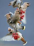 Bohemian Waxwings (Bombycilla Garrulus) Feeding On Berries, Uto Finland October Fotografie-Druck von Markus Varesvuo