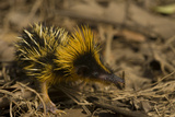 Yellow Streaked Tenrec (Hemicentetes Semispinosum) Madagascar Photographic Print by Inaki Relanzon