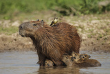 Capybara (Hydrochoerus Hydrochaeris) Female With Young Photographic Print by Tony Heald
