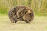 Common Wombat (Vombatus Ursinus) Adult Scratching, Tasmania Reproduction photographique par Dave Watts