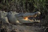 Saltwater Crocodile (Crocodylus Porosus) Northern Territory, Australia Reproduction photographique par Dave Watts
