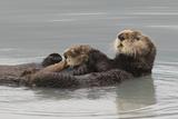 Sea Otters, Mother with Pup Fotografie-Druck von Ken Archer