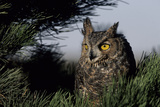 Great Horned Owl in Pine Tree, Colorado Reproduction photographique par Richard and Susan Day