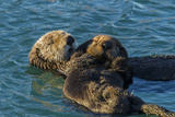 California, Morro Bay. Sea Otter Parent and Pup Fotografie-Druck von Jaynes Gallery