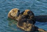 California, Morro Bay. Sea Otter Parent and Pup Premium-Fotodruck von Jaynes Gallery