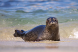 California, La Jolla. Baby Harbor Seal in Beach Water Fotografisk tryk af Jaynes Gallery