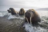 Europe, Norway, Svalbard. Walruses Emerge from the Sea Fotografie-Druck von Jaynes Gallery