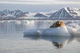 Norway, Svalbard. Bearded Seal Resting on Ice Lámina fotográfica por Jaynes Gallery