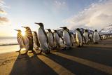 South Georgia Island, St. Andrew's Bay. King Penguins Walk on Beach at Sunrise Fotografie-Druck von Jaynes Gallery