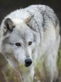 Gray Wolf, Canis Lupus, West Yellowstone, Montana Fotoprint van Maresa Pryor