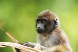 Asia, Indonesia, Sulawesi, Buton Island. Juvenile Buton Macaque Fotografisk trykk av David Slater