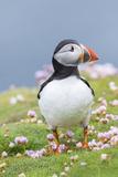 Atlantic Puffin. Scotland, Shetland Islands Fotografisk trykk av Martin Zwick