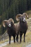 Rocky Mountain Bighorn Sheep Rams Lámina fotográfica por Ken Archer