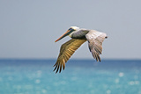 Mexico, Caribbean. Male Brown Pelican Flying over the Sea Reproduction photographique par David Slater