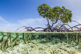 Over and under Water Photograph of a Mangrove Tree , Background Near Staniel Cay, Bahamas Reproduction photographique par James White