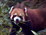 Red Panda Shining Cat Eating Bamboo, Chengdu, Sichuan, China Lámina fotográfica por William Perry