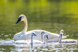 Montana, Elk Lake, a Trumpeter Swan Swims with Five of Her Cygnets Impressão fotográfica por Elizabeth Boehm