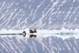 Norway, Svalbard, Pack Ice, Walrus on Ice Floes Fotografie-Druck von Ellen Goff