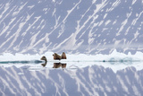 Norway, Svalbard, Pack Ice, Walrus on Ice Floes Photographic Print by Ellen Goff