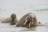 Norway, Svalbard, Walrus in Water Fotografie-Druck von Ellen Goff