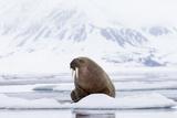 Arctic, Norway, Svalbard, Spitsbergen, Pack Ice, Walrus Walrus on Ice Floes Fotografisk tryk af Ellen Goff