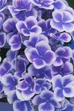 Hydrangea Blooms Impressão fotográfica por Anna Miller