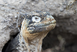 Ecuador, Galapagos Islands, Plaza Sur, Land Iguana,. Female Land Iguana at the Mouth of Her Den Photographic Print by Ellen Goff