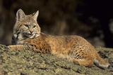 Bobcat Laying Down, Montana Reproduction photographique Premium par Richard and Susan Day