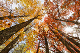 Skyward View of Maple Tree in Pine Forest, Upper Peninsula of Michigan Fotografisk trykk av Adam Jones