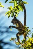 Mexico, Yucatan. Spider Monkey, Adult in Tree Curious About a Leaf Fotografie-Druck von David Slater