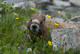 Colorado, American Basin, Yellow-Bellied Marmot Among Grasses and Wildflowers in Sub-Alpine Regions Lámina fotográfica por Judith Zimmerman