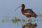 White-Faced Ibis Reproduction photographique par Ken Archer