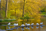 Swans Resting on Pond Stepping Stones Impressão fotográfica por Anna Miller