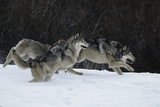 Gray Wolves Running in Snow in Winter, Montana Reproduction photographique Premium par Richard and Susan Day