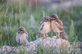 Wyoming, Sublette County, Burrowing Owl Chicks Stand at the Burrow Entrance and Lean on Each Other Reproduction photographique par Elizabeth Boehm