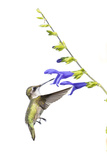 Ruby-Throated Hummingbird on Blue Ensign Salvia on White Background, Marion County, Illinois Reproduction photographique par Richard and Susan Day