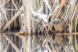 Wyoming, a Virginia Rail Is Reflected in a Calm Morning Pond after a Spring Snowstorm Reproduction photographique par Elizabeth Boehm
