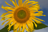 California. Hybrid Sunflower Photographic Print by Jaynes Gallery