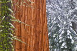 California, Giant Sequoia in Winter, Giant Forest, Sequoia National Park Reproduction photographique par Russ Bishop