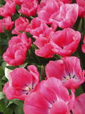 Pink Tulips Photographic Print by Anna Miller