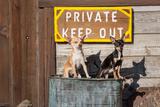 Chihuahua Guard Dogs Reproduction photographique par Zandria Muench Beraldo