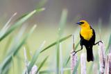 Wyoming, Sublette County, a Yellow-Headed Blackbird Male Straddles Several Cattails Valokuvavedos tekijänä Elizabeth Boehm