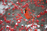 Northern Cardinal Male in Common Winterberry Bush in Winter, Marion County, Illinois Reproduction photographique par Richard and Susan Day