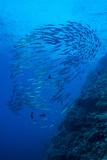 Indonesia, Forgotten Islands. Schooling Barracuda and Reef Fotoprint van Jaynes Gallery