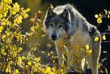 Gray Wolf in Fall, Montana Reproduction photographique par Richard and Susan Day