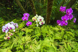 Orchids at the Hawaii Tropical Botanical Garden, Hamakua Coast, the Big Island, Hawaii Reproduction photographique par Russ Bishop
