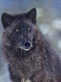 Gray Wolf in Snow, Montana Fotografie-Druck von Tim Fitzharris