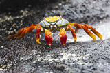 Ecuador, Galapagos Islands, Sombrero Chino. Sally Lightfoot Crab on Wet Rocks Fotografie-Druck von Ellen Goff